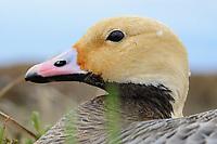 Emperor Goose (Chen canagica) head detail. Yukon Delta, Alaska. June.