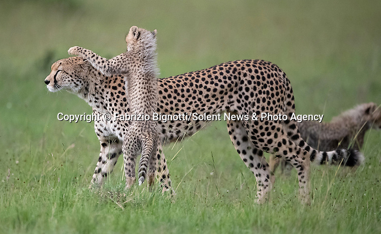 THE KARATE CUB - Showing their Kung Fu moves.<br /> <br /> Pictured: Cheetah cub leaping on mum.<br /> <br /> Energetic cheetah cubs keep their mother busy as they bounce around.  The adult female can be seen putting up with her three month old cubs as they jumped up at her and rolled around together playfighting.<br /> <br /> The heartwarming images of the cheetah family were captured at the Maasai Mara National Reserve in Kenya by photographer Fabrizio Bignotti, 57.   SEE OUR COPY FOR DETAILS<br /> <br /> Please byline: Fabrizio Bignotti/Solent News<br /> <br /> © Fabrizio Bignotti/Solent News & Photo Agency<br /> UK +44 (0) 2380 458800