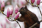 A dark-pigment squirrel samples the magnolia blossoms in Lafayette Square.