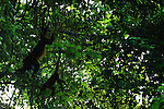 Pareja de monos aulladores / Azuero, Panamá.