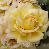 Gisela, FLOWERS, BLUMEN, FLORES, photos+++++,DTGK2311,#F#, EVERYDAY