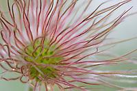 Wild Pasque Flower (Anemone patens) seed head.  Subalpine meadow, Wyoming.  Summer.