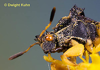AM10-520z  Ambush Bug, male face, close-up of eyes, beak and antennae, Phymata americana