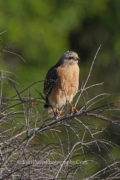Red-Shouldered Hawk #B54