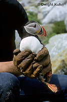 MC32-003z  Atlantic Puffin - held for tagging on Machias Seal Island, Bay of Fundy - Fratercula arctica
