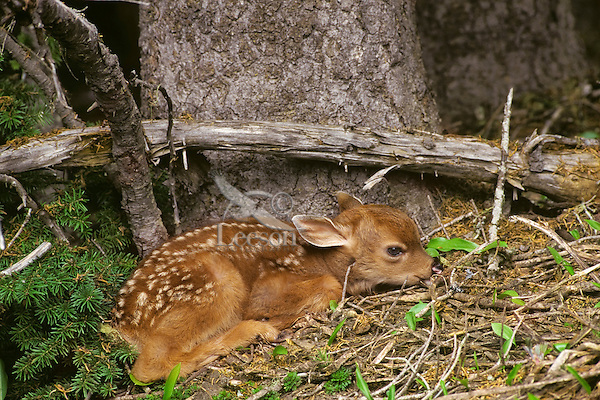 Young Black-tailed Deer fawn lying motionlessly while it waits for mother to return.  Pacific Northwest.  June.