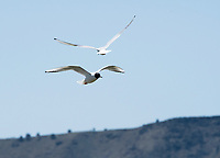 Bonaparte's Gulls, Larus philadelphia, flying over Tule Lake National Wildlife Refuge, Oregon