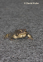 0304-0911  American Toad Crossing Paved Road During Rain Event in Spring,   © David Kuhn/Dwight Kuhn Photography, Anaxyrus americanus, formerly Bufo americanus
