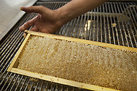 Switzerland. Canton Ticino. Capolago. Alberto Bianchi is a beekeeper and an organic farmer (with the label Bio Suisse). He is making honey by using a honey extractor. Bees cover the filled in cells of the honeycombs with wax cap that must be removed before centrifugation. A honey extractor extracts the honey from the honeycombs without destroying the comb. Extractors work by centrifugal force. A beekeeper (or apiarist) keeps bees in order to collect honey and other products of the hive (including beeswax, propolis, pollen, and royal jelly). 5.06.12 © 2012 Didier Ruef
