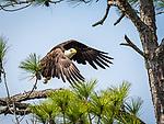 Bald eagle landing on tree limb.