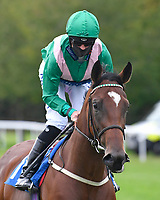 Molly Shaw ridden by Jack Mitchell goes down to the start  of The Venture Security Handicap Stakes  during Horse Racing at Salisbury Racecourse on 11th September 2020