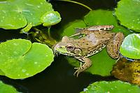Green Frog (Lithobates clamitans or Rana clamitans melanota) Photo showing Adult frog . (do (c)
