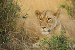 An lioness rests on the Maasai Mara plain in Kenya.