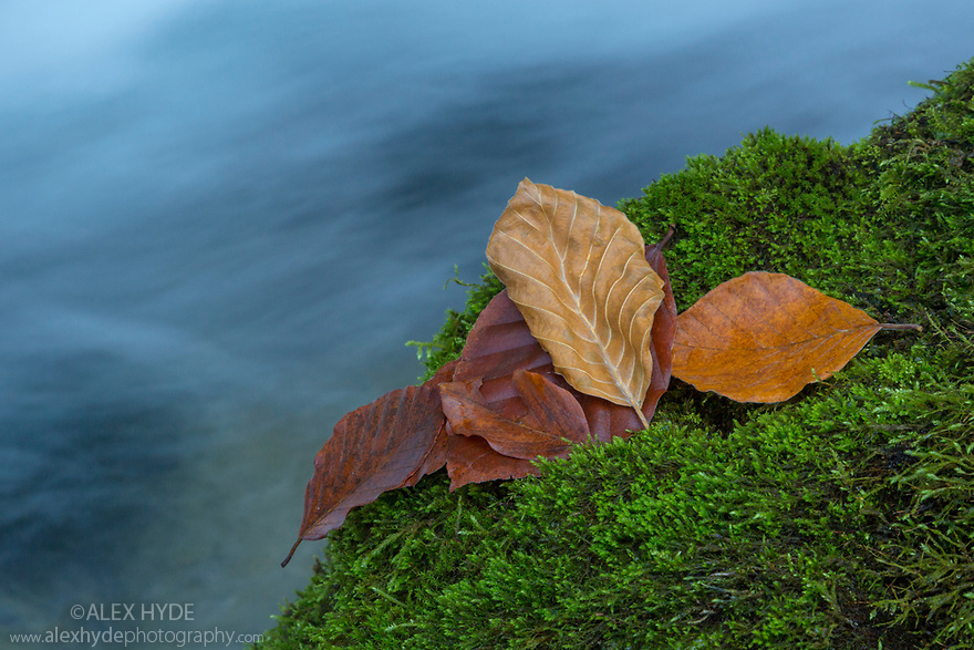 Beech leaves on a mossy boulder with a woodland stream flowing past. Plitvice Lakes National Park, Croatia. November.