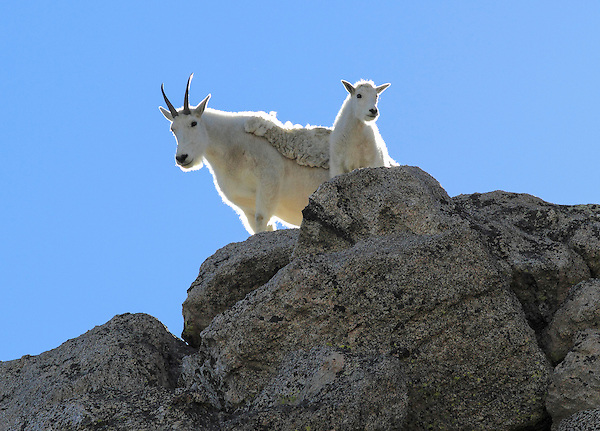 Mountain Goat nanny (Oreamnos americanus) and kid goat on the slopes of Mount Evans (14,250 feet), Rocky Mountains, west of Denver, Colorado, USA Wildlife  photo tours to Mt Evans. .  John leads private, wildlife photo tours throughout Colorado. Year-round.
