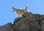 Mountain Goat nanny (Oreamnos americanus) and kid goat on the slopes of Mount Evans (14,250 feet), Rocky Mountains, west of Denver, Colorado, USA Wildlife  photo tours to Mt Evans. .  John leads private, wildlife photo tours throughout Colorado. Year-round.