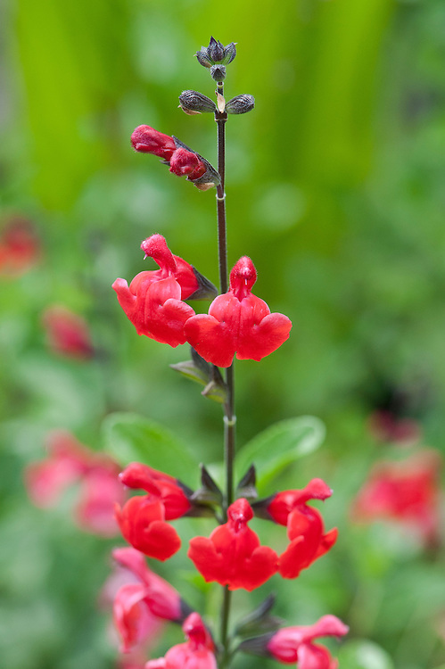 Salvia 'Bumble Bees', early July.