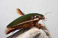 Gaukler, Cybister lateralimarginalis, Scaphinectes lateralimarginalis, Diving Beetle, Schwimmkäfer, Dytiscidae