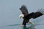 A bald eagle fishing at Kachemak Bay in Homer, Alaska.