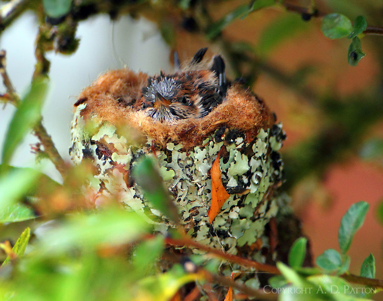 Volcano hummingbird nest, a day later than first picture, babies growing fast.