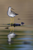 Lesser Yellowlegs standing on a bed of floating weeds