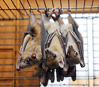 Fruit bats for sale at the Noah Inner City Zoo - a pet shop that sells exotic animals. The rare and endangered animal sells for 63,000 yen (700 US$). The Noah Inner City Zoo is a pet shop that sells exotic animals. The 'zoo' claims to have more than 300 species for sale, many of which are rare and some are even endangered.