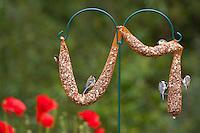 Kohlmeise und Sumpfmeise an der Vogelfütterung, Fütterung am Futterschlauch, Körnerfutter, Kohl-Meise, Meise, Meisen, Parus major, great tit, Poecile palustris, Parus palustris, marsh tit. Ganzjahresfütterung, Vögel füttern im ganzen Jahr, Riesenfutterschlauch, Vogelfutter der Firma GEVO