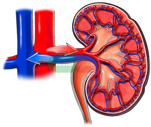 Kidney and Renal Blood Vessels, Anterior Cut-away View. Shows normal anatomy of renal artery and vein entering the hilum of the kidney with a cut-away section showing the intrarenal circulation.