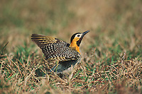 Field Flicker (Colaptes campestris), adult, Pantanal, Brazil, South America