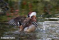 0310-1004  Drake (Male) Mandarin Duck Displaying Courtship Behavior, Aix galericulata  © David Kuhn/Dwight Kuhn Photography.