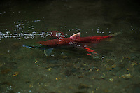 Sockeye Salmon spawn in Southcentral Alaskan streams. Each of these fish will die after depositing milt and eggs in the river gravel. The influx of marine nutrients from their eggs, carcasses, and progeny sustains a myriad of species, including Dolly Varden Char and Coastal Brown Bears. As keystone species, salmon, Sockeyes in particular, are critical to the health and function of these ecosystems.