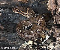0420-1104  Anchieta's Dwarf Python (Anthony Python), African Python, Python anchietae  © David Kuhn/Dwight Kuhn Photography