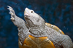 diamondback terrapin underwater medium shot