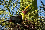 Black-mandibled Toucan (Ramphastos swainsonii) feeding on palm fruit, Osa Peninsula, Costa Rica