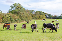 Dairy cattle grazing - Lincolnshire, September