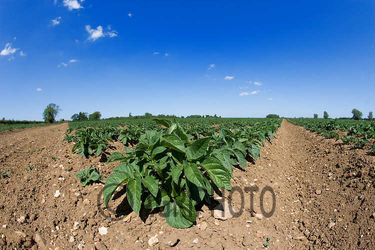 Potatoes Growing In Lincolnshire