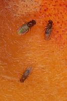 Schwarzbäuchige Fruchtfliege, Schwarzbäuchige Taufliege, Fruchtfliege, Taufliege, Kleine Essigfliege, Obstfliege, Gärfliege, Mostfliege, auf einem Pfirsich in der Küche, Drosophila melanogaster - Gruppe, fruit fly, vinegar fly, Essigfliegen, Obstfliegen, Drosophilidae, Taufliegen, fruit flies, pomace flies, small fruit flies, ferment flies