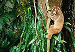 Slow loris, Kabili-Sepilok Forest Reserve, Borneo, Malaysia
