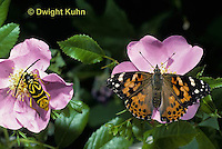 1C25-020z  Sugar Maple Borer Beetle, Glycobius speciosus, with painted lady butterfly, Vanessa cardui