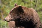 Cinnamon colored black bear in montana