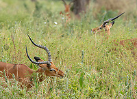 Two Common Impalas, Aepyceros melampus melampus, grazing in Tarangire National Park, Tanzania