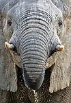 African bush elephant (Loxodonta africana), Zakouma National Park, Chad<br /> <br /> Canon EOS-1D X, EF100-400mm f/4.5-5.6L IS II USM lens, f/16 for 1/400 second, ISO 4000