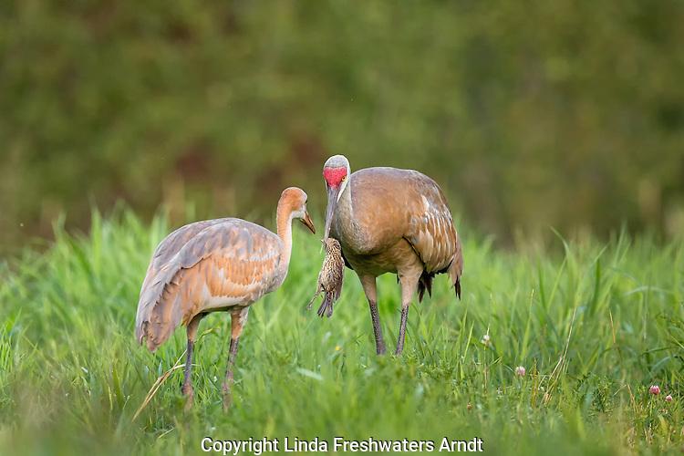 Immature sandhill crane being fed a dead red-winged blackbird