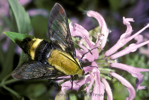 Clearwing snowberry moth, nemaris diffinis boisidoval, a day flying moth pollinating pink bee balm, monarda, flower