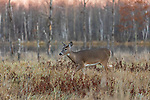 The sun is setting as a white-tailed deer walks in a northern Wisconsin field.