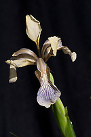 Iris foetidissima, blue form