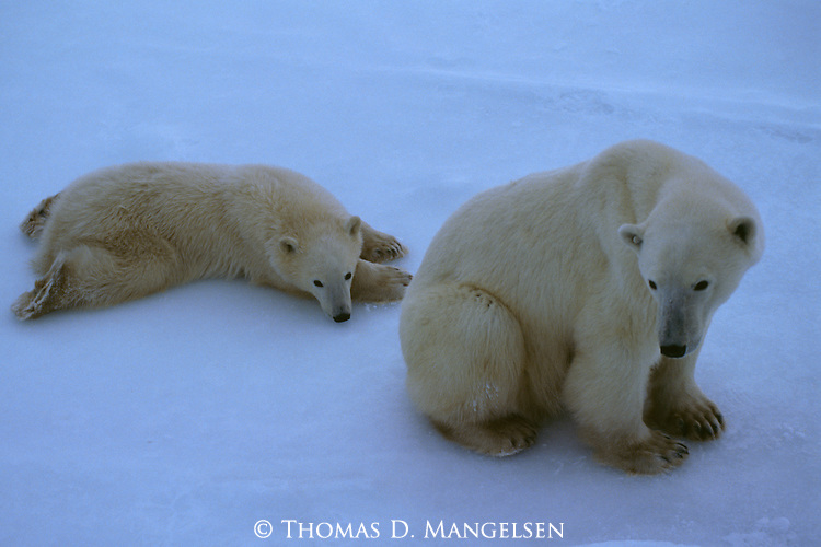 A polar bear mother sits with her resting cub in Churchill, Manitoba, Canada.