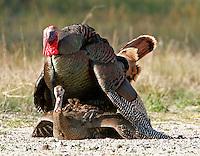 Pair of Rio Grande wild turkeys mating