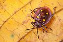 Pleasing Fungus Beetle {Erotylidae}, Danum Valley, Sabah, Borneo, Malaysia.
