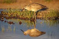 Juvenile Willet (Tringa semipalmata) in a flooded pasture. Sublette County, Wyoming. June.